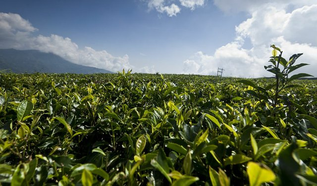 16i2_ART_NEPAL13_nepali-tea-field-800.jpg