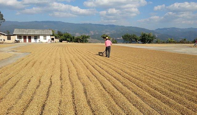 Yunnan: Arabica Supplier to the World?