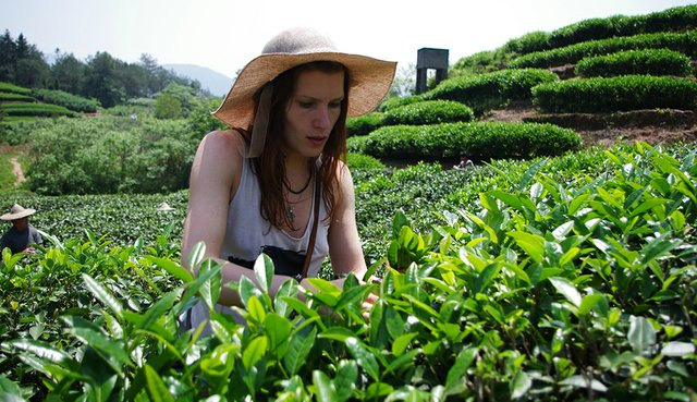 Local tea breeds are specially produced by scientists of Soviet Union to stand against frosts.jpg