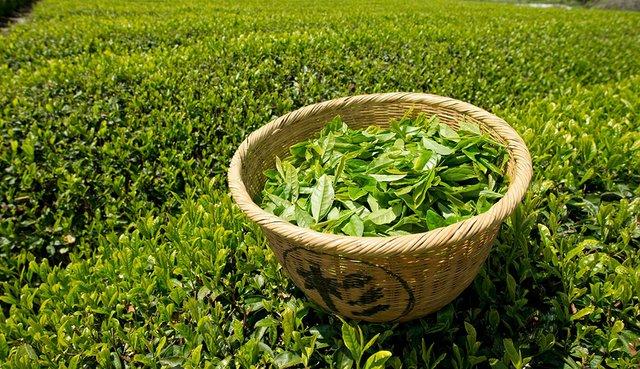 Sochi-produces-350-tonnes-of-tea-per-year.jpg