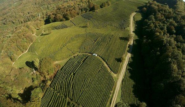Tea plantation in Sochi occupy 350 ha compare with almost 500 decade ago.jpg