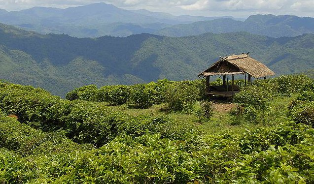 Laos mountain tea garden