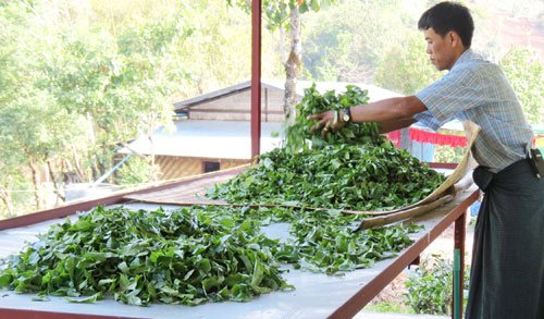 Withering Myanmar tea leaves