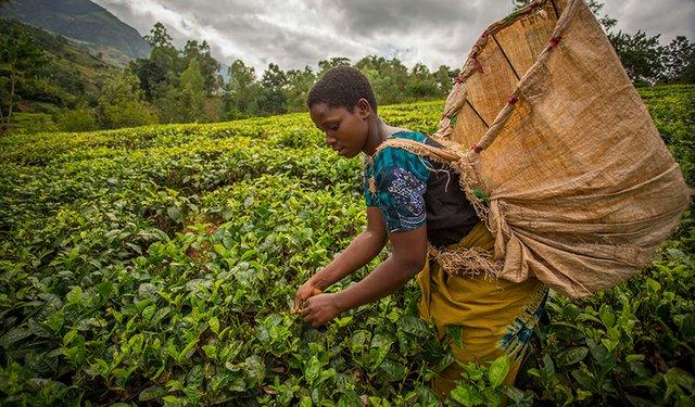 17i1_REPORT_Tea_Africa_ETPartnership.jpg
