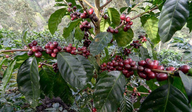 Starmaya Coffee Hybrid Could 'Reshape Coffee'