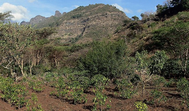Safeguarding Ethiopia's Coffee Takes on New Urgency