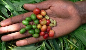 Safeguarding Ethiopia's Coffee Takes on New Urgency