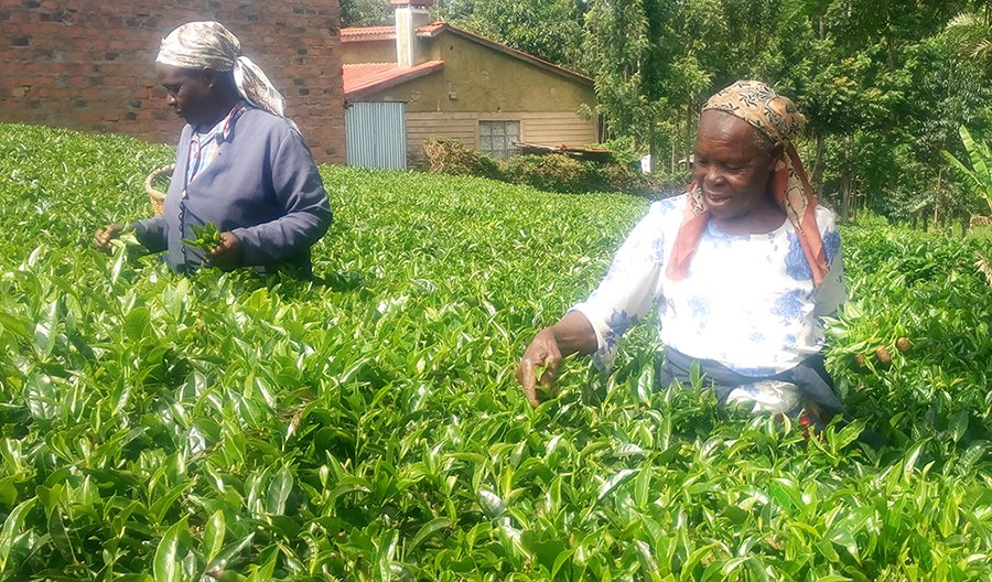 Kenya Small Growers Opt for Private Buyers