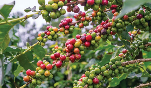 Coffee beans at a plantation after rain in Vietnam