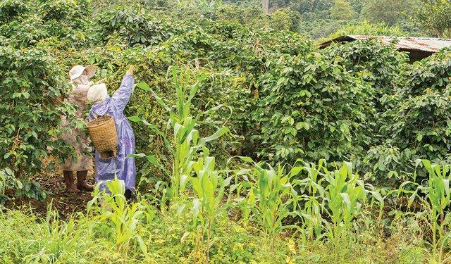 harvesting of coffee in Vietnam near Da Lat