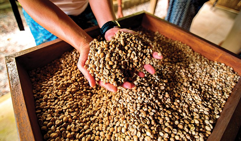 dry coffee beans in farmer hand at plantation