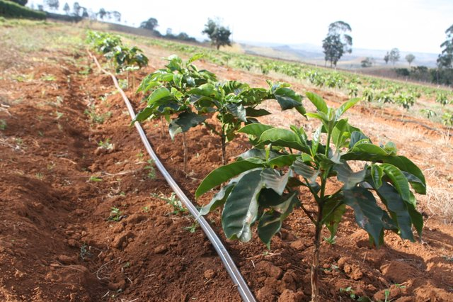 Coffee Irrigation