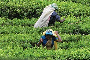 sri lanka tea pickers