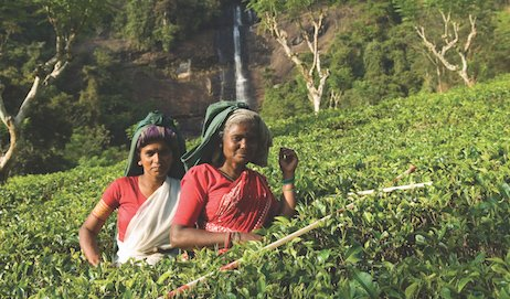 India Tea Board Closes Factories for Winter