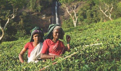 India Tea Board Closes Factories for Winter