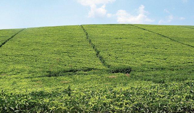 Reforestation in Tea Areas
