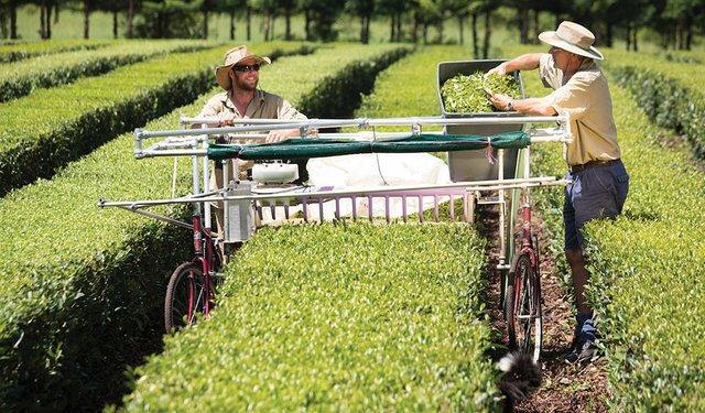 Growing Tea the Aussie Way