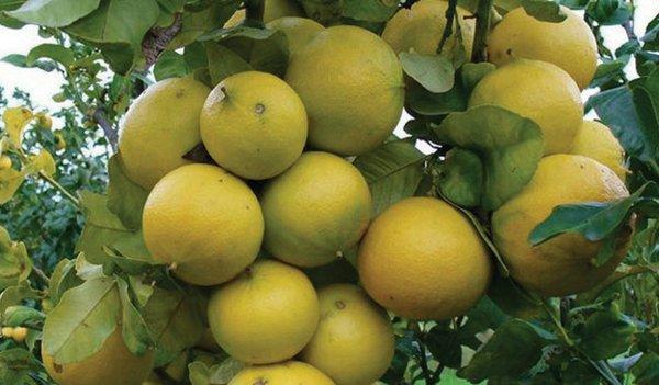 Sourcing Bergamot: A Premium Fruit, Not Just Flavoring