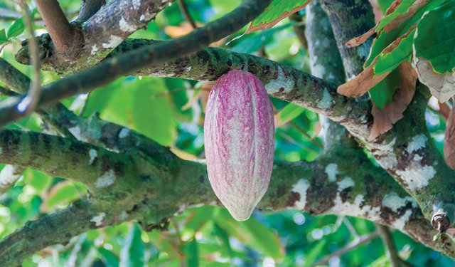 Cocoa Industry Agrees to Base Price