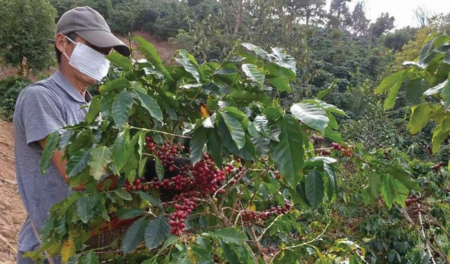 China's Coffee Growers Survive a Difficult Year