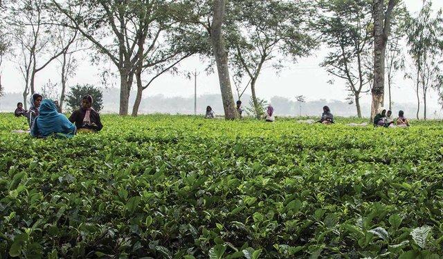 India Tea Prices Plunge as Demand Dissipates