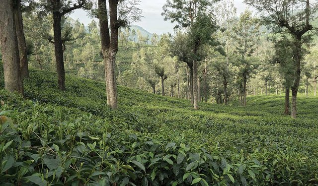 India's Tea Industry Struggles To Flourish