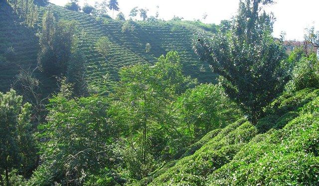 20i4-Turkis_Tea_Garden_Rize_Province.jpg