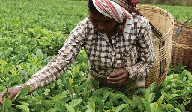 Indian Tea's Sustainability Story