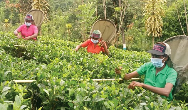 Surviving the Pandemic: Vulnerabilities In the Global Tea Industry