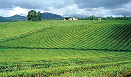 Tea Growing Managing Climate Change