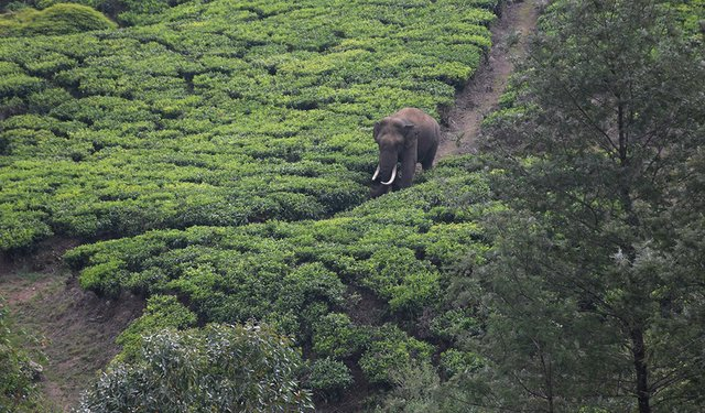 20i3_tea_india