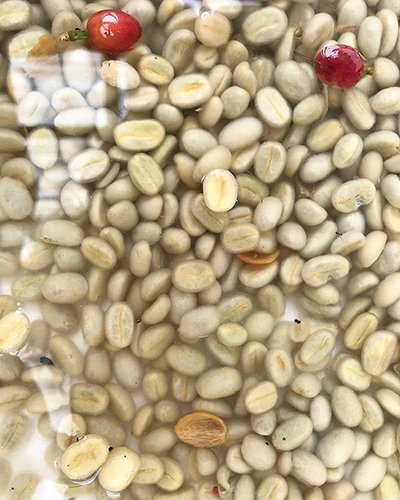 Coffee Processing Primer: Differentiation and Value-Added Distinction