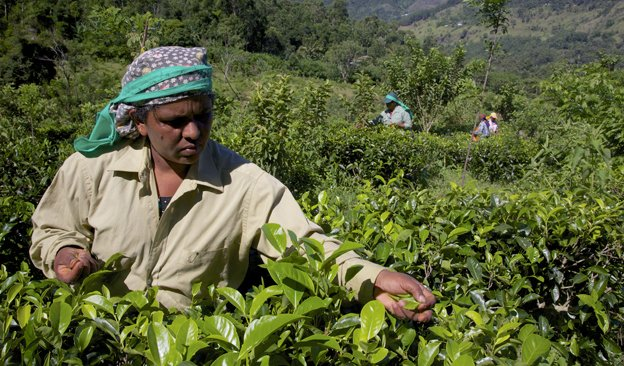 Newsletter-624x366-TeaProduction-01.jpg