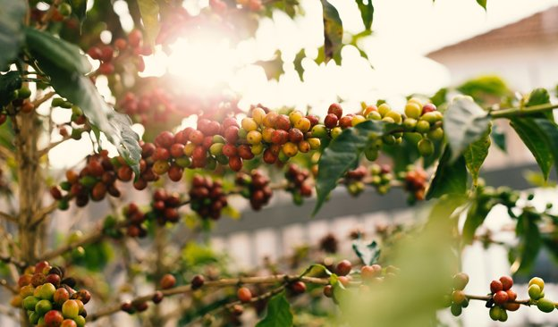 Newsletter-624x366-CoffeeConservation.jpg