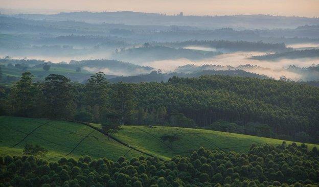 Newsletter-624x366-Satemwa Tea Fields and Forest.jpg