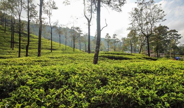 News-624-366px-SrilankaTea.jpg