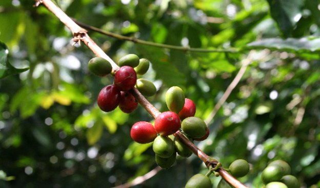 Indonesia 2020-21 Coffee Crop Ends Down Sharply; 2020 Outlook Also Down