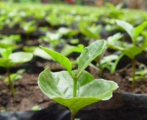 gesha-plant2-300.jpg