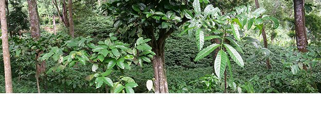 15i5_TEASER-coffee-report-leaves.jpg