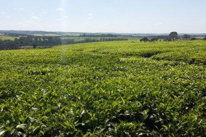 16i1_REPORT_TEA_Kenya_mau forest kenya-423.jpg