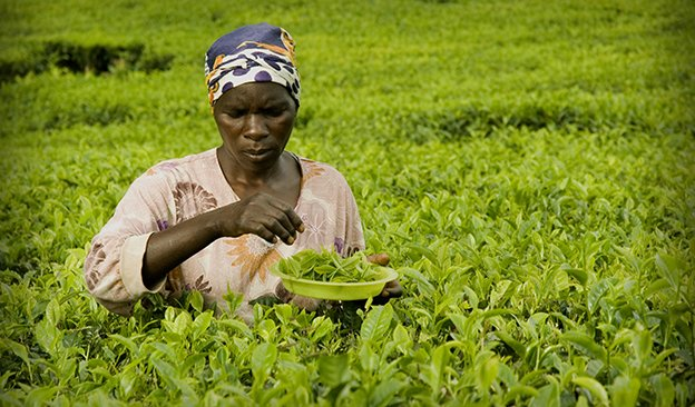 16i1_ART_Satemwa_Special plucker trained to fine pluck for Satemwa's specialty teas-624.jpg