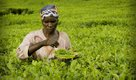 16i1_ART_Satemwa_Special plucker trained to fine pluck for Satemwa's specialty teas-624.jpg